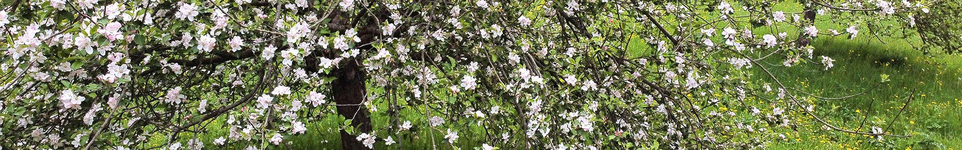 Blühender Kirschbaum im Gewerbepark Rothenburg ob der Tauber und Umland